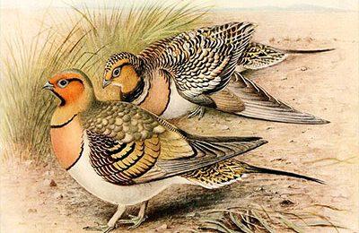 Grouse chicks